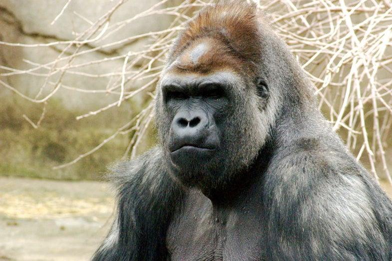 Secret Stash of Gorillas Eases Extinction Fears