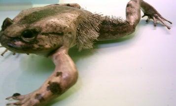 Battle of the Self-Mutilating Amphibians