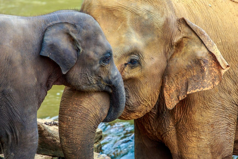 'Zombie genes' could be why so few elephants die of cancer