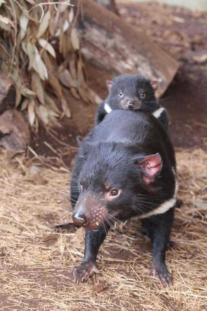 Tasmanian devil mother and joey