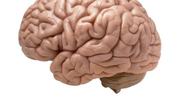 Tiny, Sophisticated Human Brain Grown In A Dish