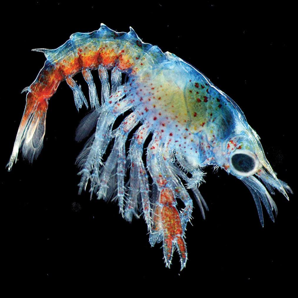 a translucent lobster larva on a black background