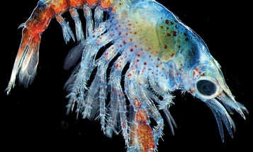 Baby Lobsters Look Like They're From Another Planet