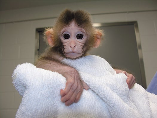 "Scientists Engineer ""Chimera"" Primates to Combat Human Ailments"