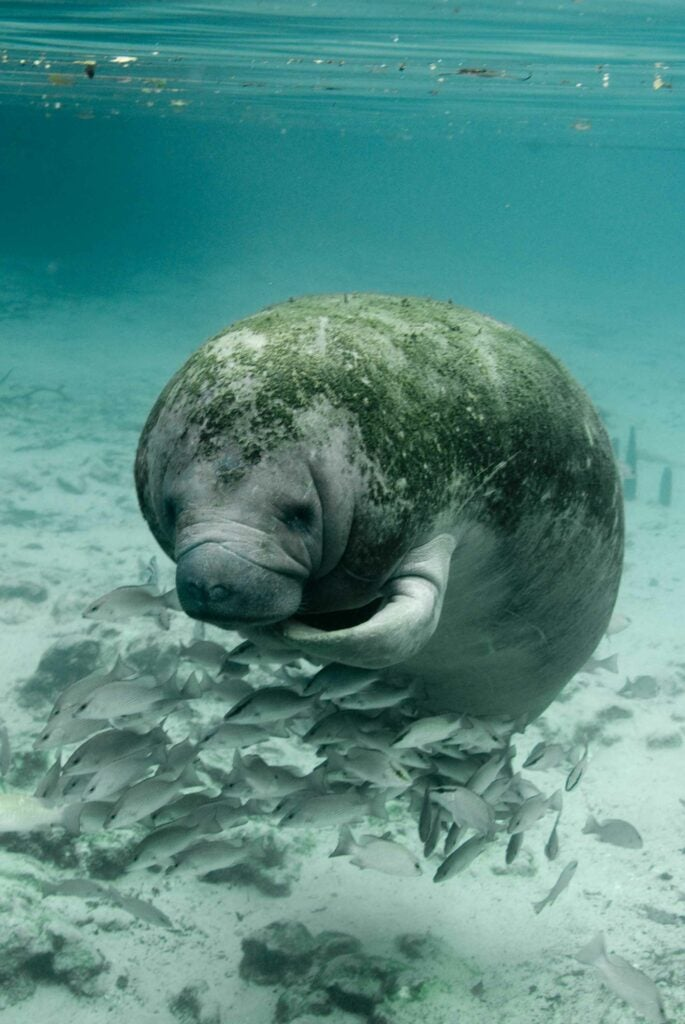 Manatees swimming