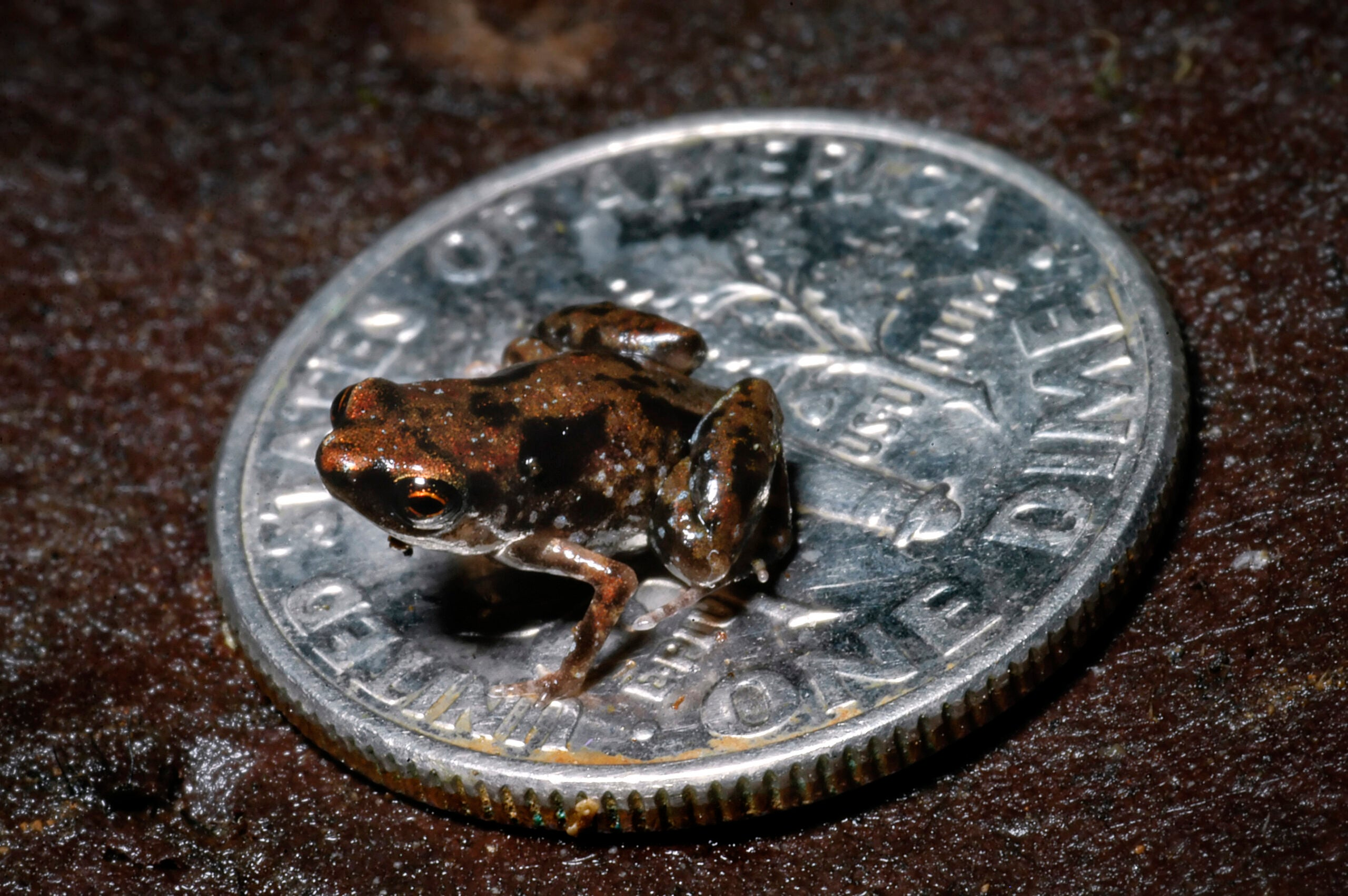 This Newly Discovered Frog Is the World's Smallest Vertebrate