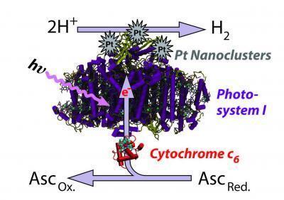 Modified Algae Produce Clean, Easy Hydrogen
