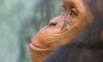 Chimps Help Each Other Cope