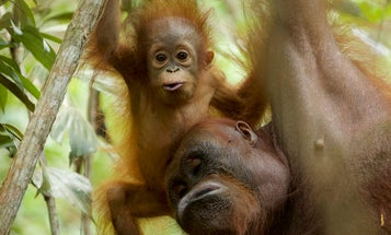 Some orangutans breastfeed their babies for over eight years
