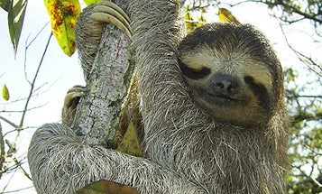 Sloth Fur Might Yield New Drugs