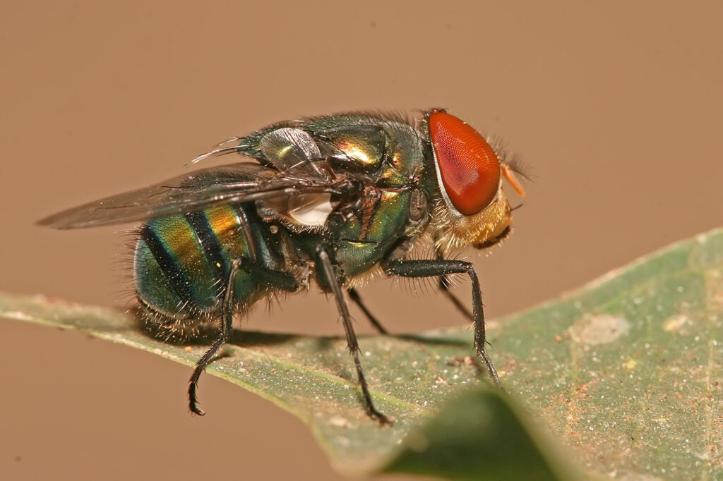 A chrysomya megacephala, commonly known as a blow fly.