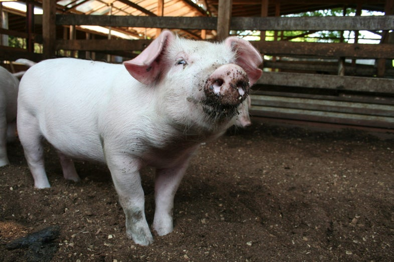 The Month In Plagues: Pig MRSA Threat, There's Probably No Plague On The NYC Subway, And More