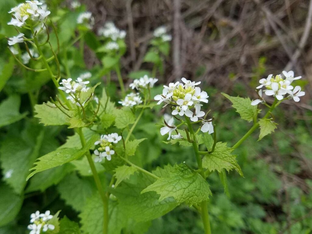 Garlic Mustard, *Alliaria petiolata*