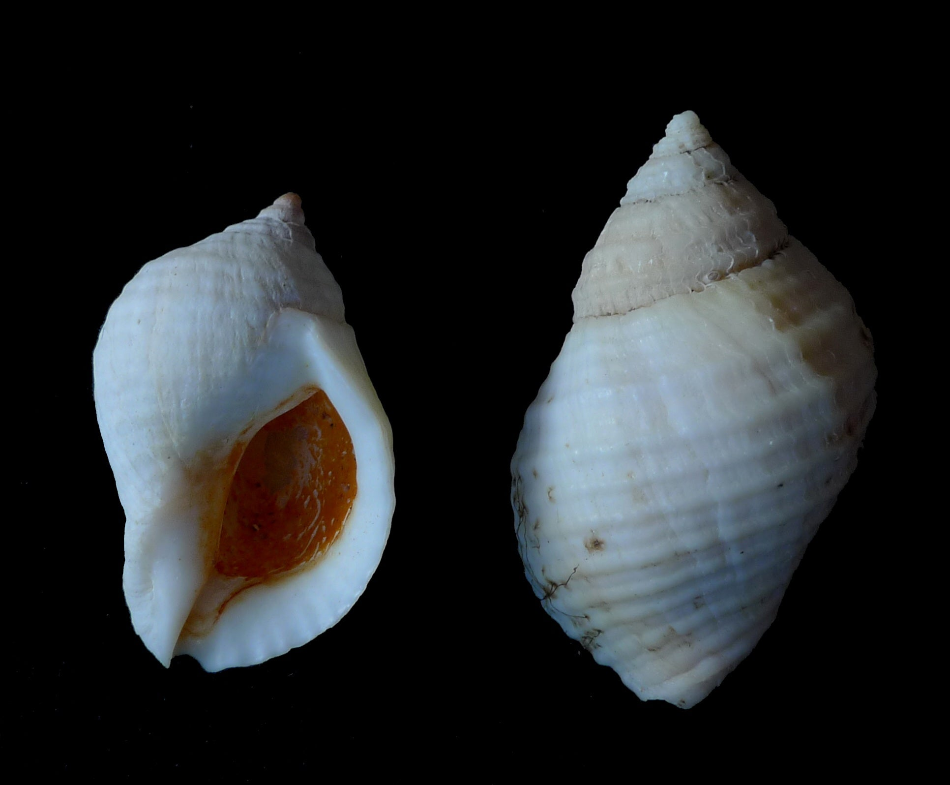 Six Years After Chemical Ban, Fewer Female Snails Are Growing Penises