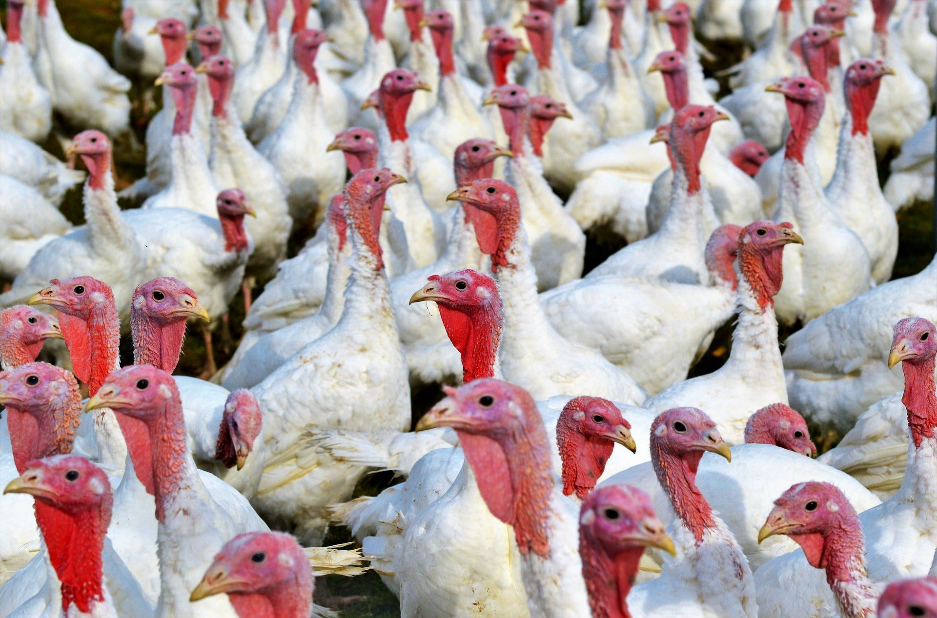Turkey poop could help save us from ourselves