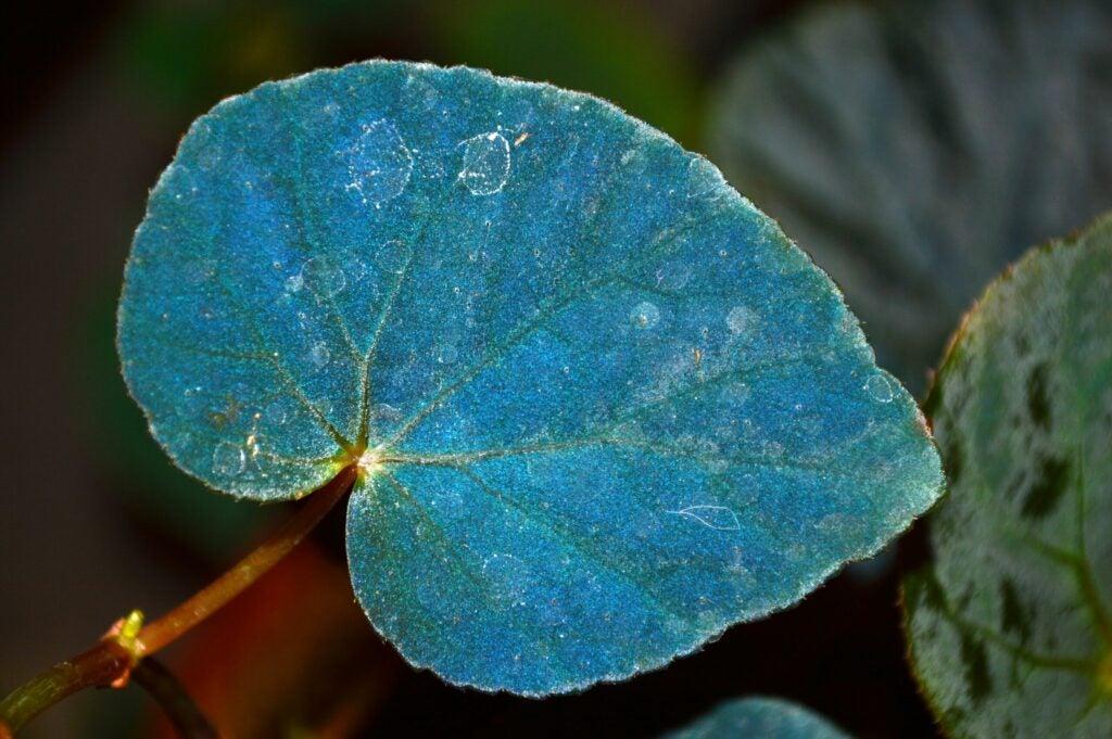 """""""begonia"""