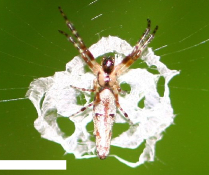 This Spider Disguises Itself As Bird Poo To Avoid Getting Eaten