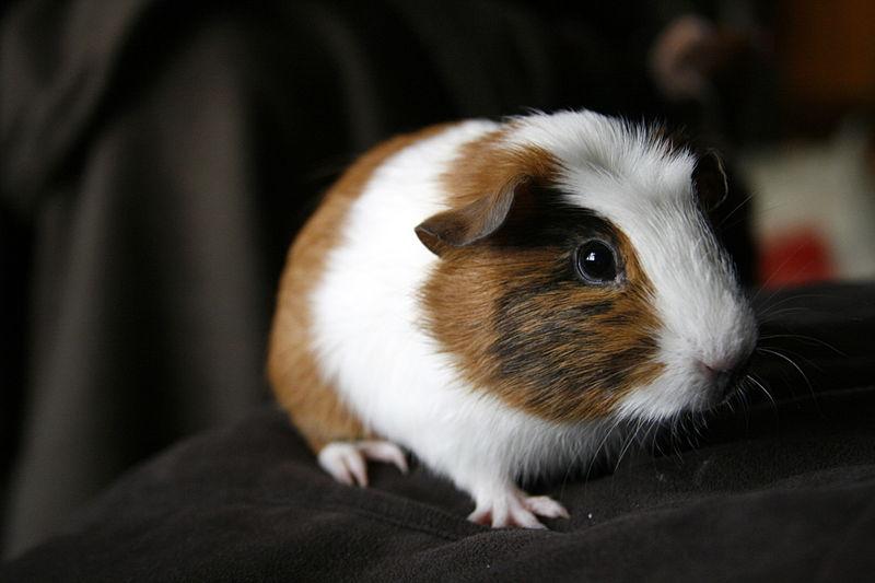 Researchers Turn Animal Ears Into Bio-Batteries