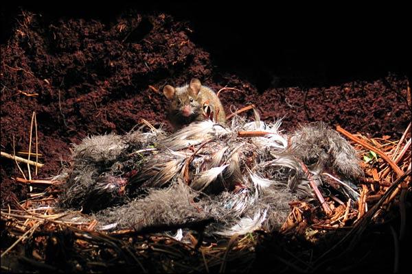 The Killer Mice of Gough Island