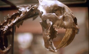 Life in Los Angeles was brutal for saber-toothed cats