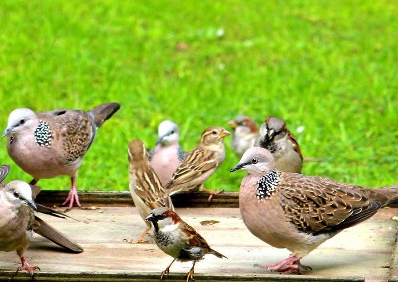Bird Feeders Attract Non-Native Bird Species