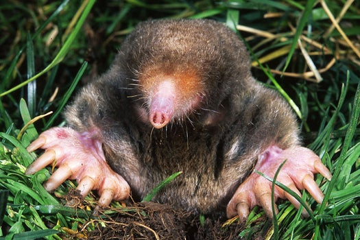 Study Shows That Moles Can Smell In Stereo