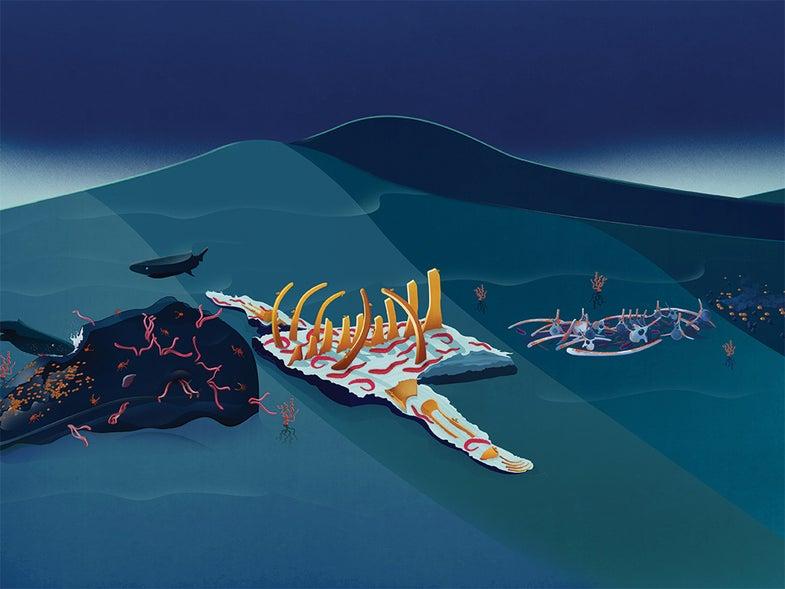 How whale corpses feed ocean floors