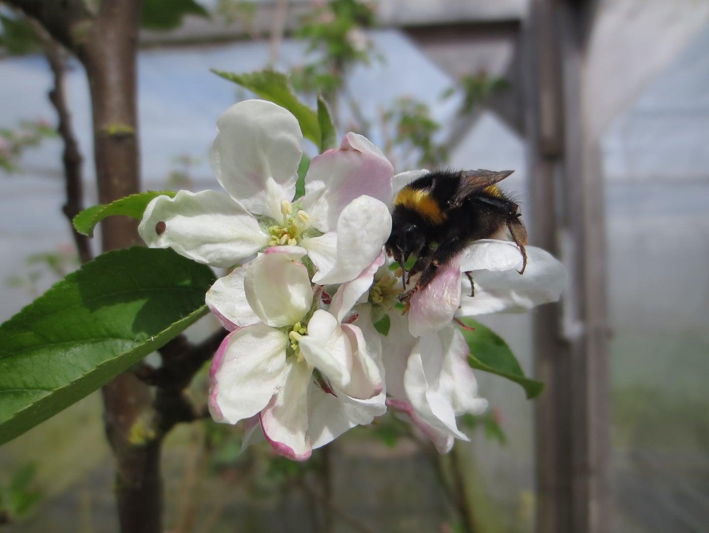 Neonicotinoid Pesticides Make Bees Worse Pollinators