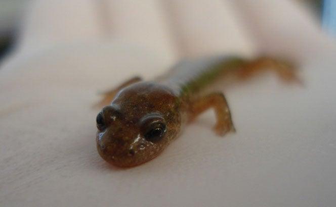 Using Unique Hip Twist, Salamander Can Leap 10 Times Its Body Length