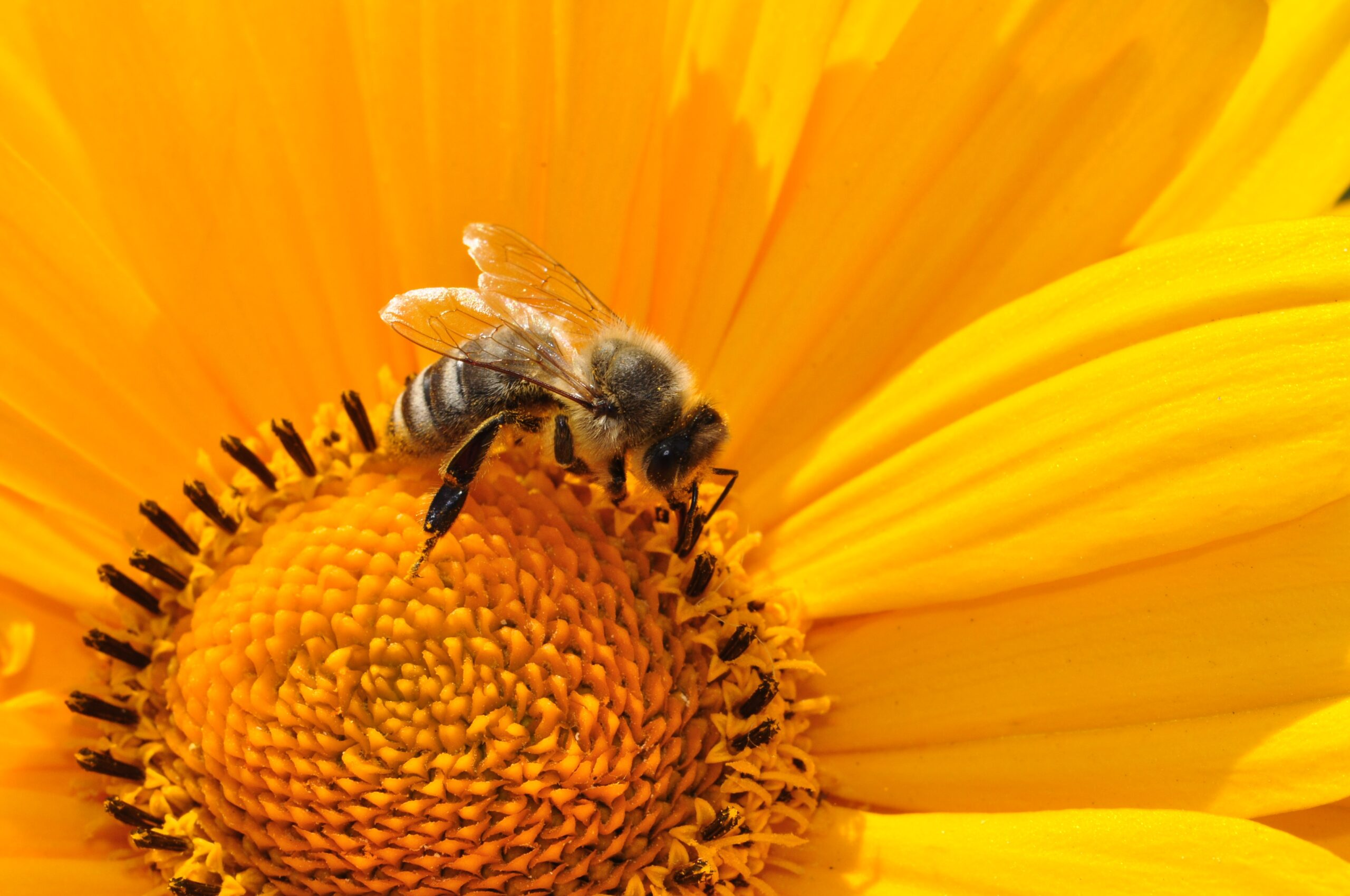 A bee lands on a yellow flower.