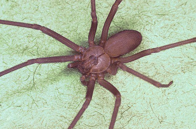 Brown recluse spider.