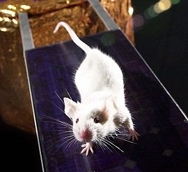 Mouse Study Shows Immune Systems Genetically Compromised by Spaceflight