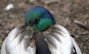 Birds with bigger beaks get colder noses