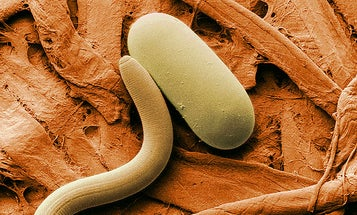 Microscopic Worms Could Sniff Out Explosives
