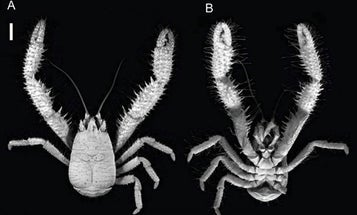 Video: A Yeti Crab That Grows Its Bacterial Meals on Its Own Body