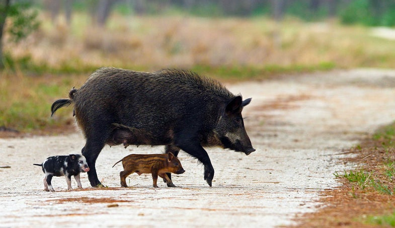 Feral Pigs and Tenacious Plants: What Makes an Invasive Species Invasive?
