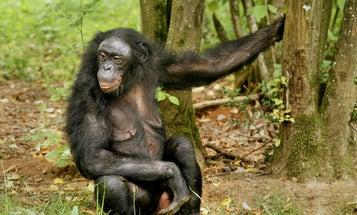 Female Bonobos' Phony Sex Displays Let Them Pick Mates At Leisure