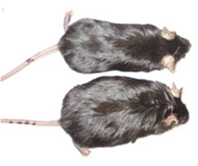 Genetically Engineered Mice Can't Get Fat