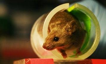 Genetically Engineered Mice May Reduce Lyme Disease in Nantucket