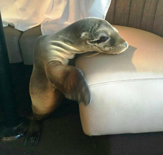 Hungry Sea Lion Pup Found In San Diego Restaurant