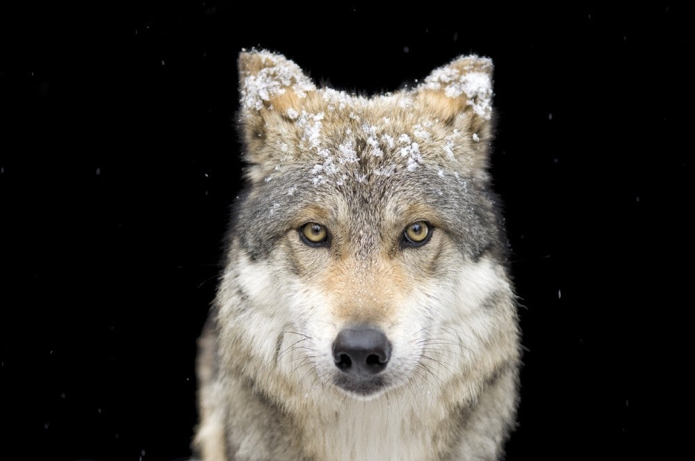 A Mexican gray wolf
