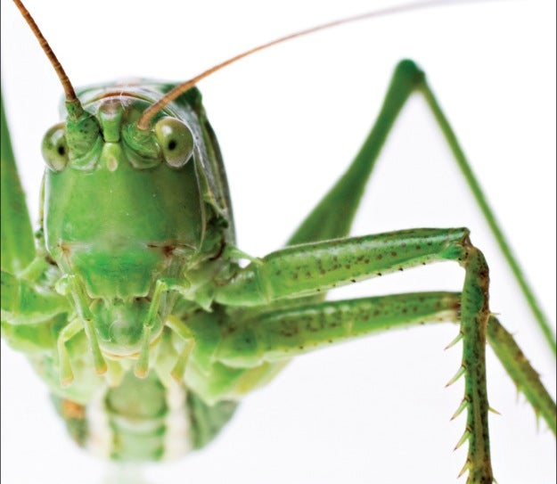 great mantis