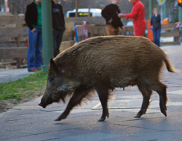 We're Losing The Battle Against Wild Pigs