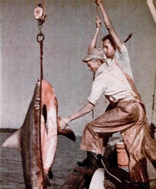 Sharks--The Buffalo of the Sea, September 1943