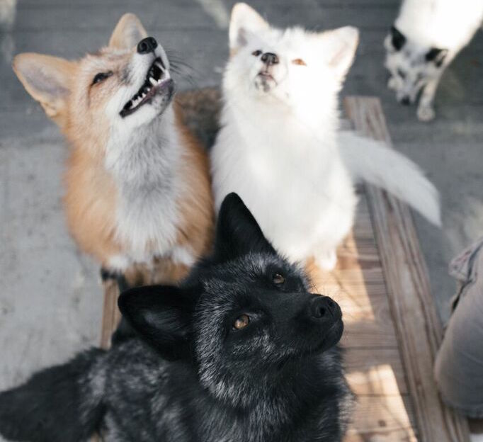 three domesticated foxes