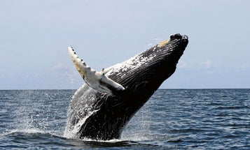 Study Suggests Eating Whales, Not Saving Them