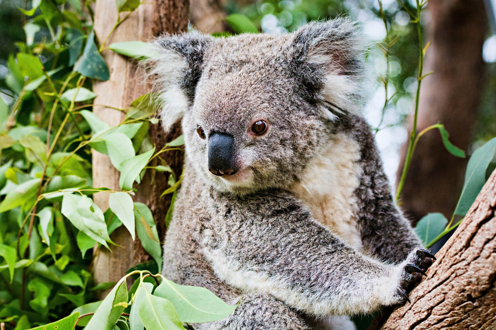 Chlamydia Vaccine Could Save The Wild Koala