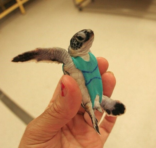 Sea Turtles Wear Swimsuits To Help Researchers