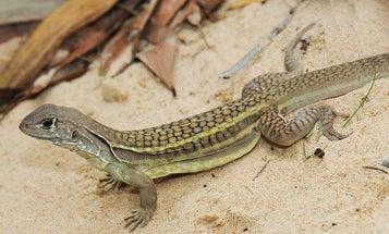 Scientists Discover Self-Cloning Lizard Species On Vietnamese Restaurant Menu