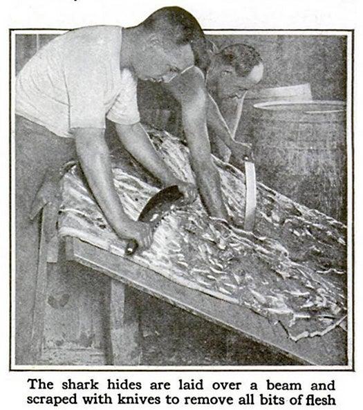 Shark Leather, November 1917